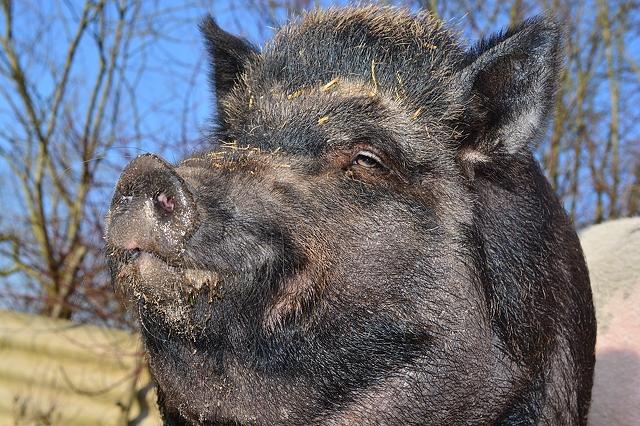 wild-boar-in-nature-6000x4000_84509