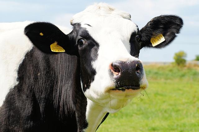 nice-cow-in-farm-5456x3632_33786